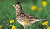 Conservation for SkyLarks